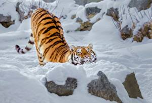 Picture Tigers Snow Funny Animals