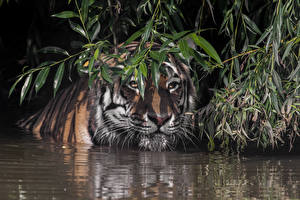 Pictures Tigers Water Snout Branches Animals