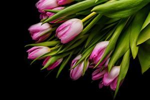 Hintergrundbilder Tulpen Schwarzer Hintergrund Rosa Farbe Blumen