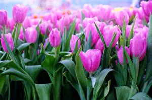 Image Tulips Closeup Pink color Flowers