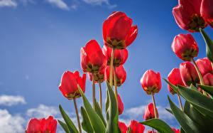 Fotos Tulpen Rot Untersicht Ansicht von unten Blumen