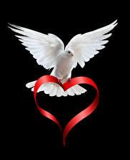 Fotos Valentinstag Feldtauben Schwarzer Hintergrund Weiß Herz Tiere