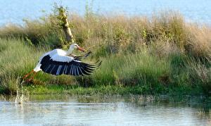 Pictures Water Birds Stork Grass Flight Animals