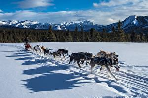 Hintergrundbilder Winter Hunde Gebirge Wälder Schnee Schlitten Laufen Siberian Husky Schatten
