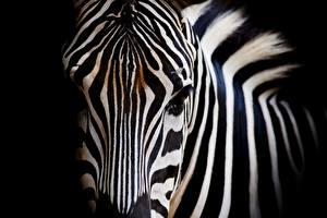 Hintergrundbilder Zebra Großansicht Schnauze Tiere