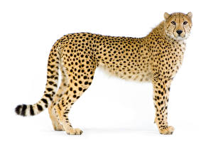 Pictures Big cats Cheetahs White background Staring Animals