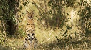 Hintergrundbilder Große Katze Serval Gras ein Tier