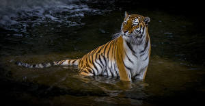 Pictures Big cats Tigers Water