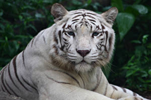 Photo Big cats Tigers White Snout Animals