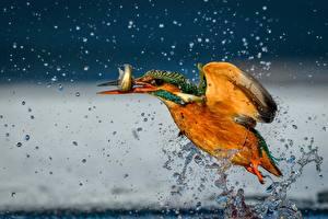 Fotos Vögel Fische Eisvogel Flug Spritzer