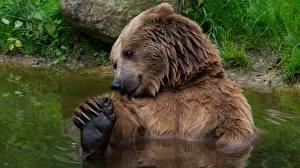 Fotos Bären Braunbär Wasser Tiere