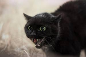 Hintergrundbilder Katze Eckzahn Schwarz Grinsen Schnauze ein Tier