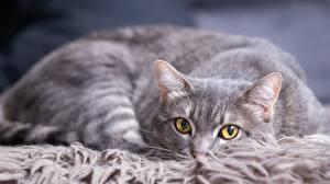 Hintergrundbilder Katzen Blick Graue ein Tier