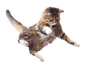 Fotos Katze Weißer hintergrund Sprung Pfote Schwanz Tiere