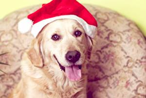 Images New year Dog Golden Retriever Winter hat Tongue Snout