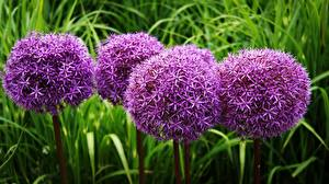 Pictures Violet Decorative onion Allium Gladiator Flowers