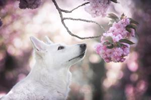 Pictures Dogs Shepherd White Branches Sakura Berger Blanc Suisse