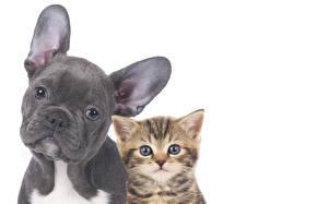 Hintergrundbilder Hunde Katze Weißer hintergrund 2 Bulldogge Kätzchen Schnauze