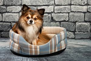 Pictures Dogs Chihuahua Wall Made of bricks Glance animal