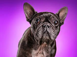 Bilder Hunde Farbigen hintergrund Bulldogge Schnauze Starren
