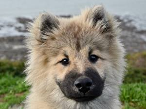 Picture Dogs Puppies Head Staring Fluffy Snout Eurasier Animals