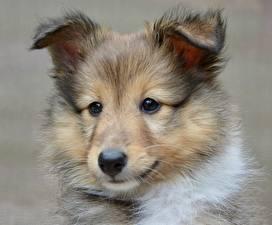 Pictures Dogs Sheltie Shetland Sheepdog Puppy Head Glance Animals