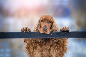 Pictures Dog Spaniel Head Paws Staring Sadness animal