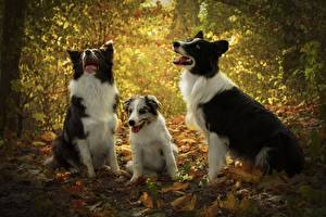 Bilder Hund Drei 3 Welpe Border Collie ein Tier