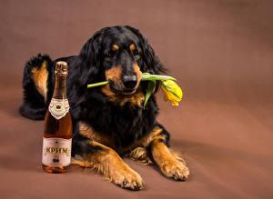Bilder Hunde Wein Tulpen Retriever Flasche