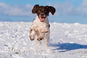 Bilder Hunde Schnee Laufsport Spaniel cocker spaniel Tiere