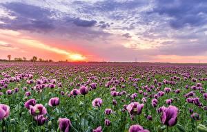 Hintergrundbilder Felder Mohnblumen Morgendämmerung und Sonnenuntergang Blüte Natur