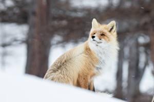 Bilder Füchse Winter
