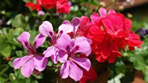 Hintergrundbilder Storchschnäbel Nahaufnahme Kronblätter Blumen