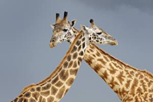 Hintergrundbilder Giraffe Grauer Hintergrund Zwei