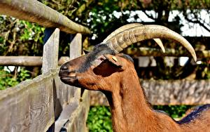 Fotos Hausziege Ziegen Kopf Ingwer farbe Horn Zaun Tiere
