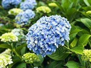 Fotos Hortensie Großansicht Hellblau