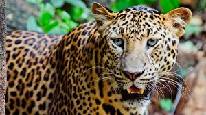 Wallpapers Leopards Staring