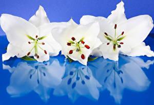 Bilder Lilien Großansicht Farbigen hintergrund Drei 3 Weiß Spiegelt Blumen