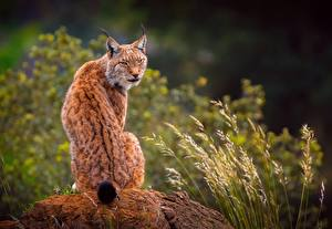 Pictures Lynx Human back Back view Sitting Animals