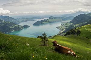 Fonds d'écran Montagnes Prairies Vache Photographie de paysage Suisse Herbe Alpes Nature
