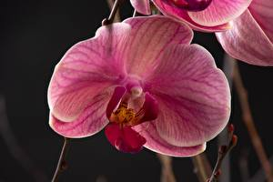 Pictures Orchid Closeup Pink color Flowers
