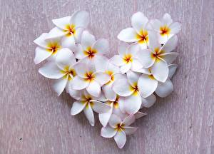 Fotos Frangipani Valentinstag Herz Weiß Blumen