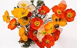 Bilder Mohn Hautnah Gelb Rot Weißer hintergrund Blüte