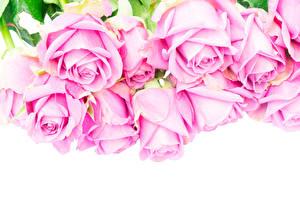 Hintergrundbilder Rosen Großansicht Weißer hintergrund Rosa Farbe