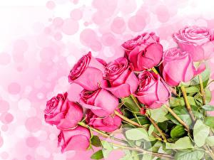 Bilder Rosen Hautnah Weißer hintergrund Rosa Farbe Blumen