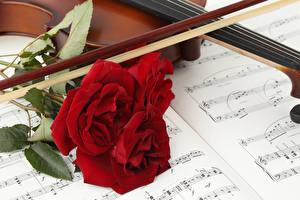 Hintergrundbilder Rose Noten Rot Drei 3 Blumen