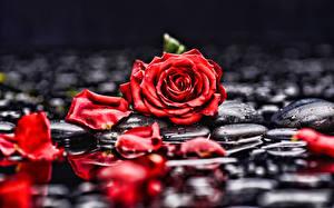 Bilder Rosen Kronblatt Rot Blumen