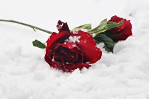 Fotos Rosen Rot Schnee