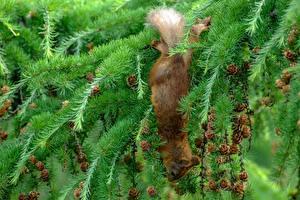 Papéis de parede Esquilos Picea Galho Pinha Animalia