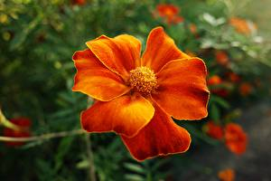 Wallpapers Tagetes Closeup Orange flower